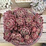 핑클루비묵한몸|Sedeveria pink rubby