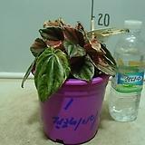 핑크레이디페페1번-후육질의뚜꺼운잎-황홀한무늬-동일품배송|