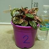 핑크레이디페페2번-후육질의뚜꺼운잎-황홀한무늬-동일품배송|