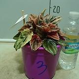 핑크레이디페페3번-후육질의뚜꺼운잎-황홀한무늬-동일품배송|