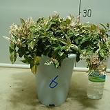 초설마삭줄6번-첫눈이왔어요-환상의무늬-덩굴식물-동일품배송|
