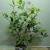 가끼로히1번 노란겹동백-장미피기꽃-동일품배송|