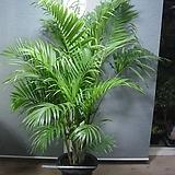 아레카야자 특특특대품1번-높이160센치-한뿌리한몸-굵은묵은주-동일품배송|