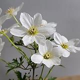 켄트마이조(흰큰꽃으아리)|