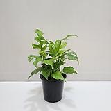 히메몬스테라/공기정화식물/온누리 꽃농원|