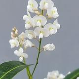 흰싸리꽃 중품/랜덤발송|