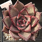 레드타우르스 82|Echeveria agavoides var. Ebony Purple