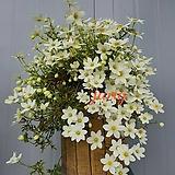 켄트마이조 흰큰꽃상록으아리 중품/랜덤발송|