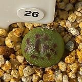 마우가니 교배종 26|Conophytum maughanii