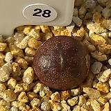 마우가니 교배종 28|Conophytum maughanii