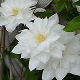 조경수 클레마티스 이사고(Isago) P9 포트 / 으아리 / 큰꽃으아리 / 야생화 / 봄꽃 / 넝쿨식물 /|