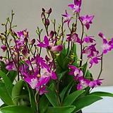 긴기아난 무라사끼.흰색.핑크복카시.예쁜연핑크.신품종.아주좋은향.상태굿.고급종.인기상품.촉많은상품.꽃대.|