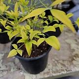 황금남천|variegated