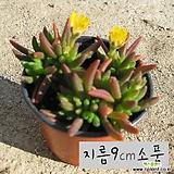 미니송엽국 노랑(사철채송화) 지름 9cm 소품 다육화분 (단일품목 구매시 5천원 이상 배송가능) 