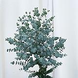 유칼립투스 90cm