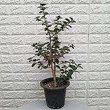 호랑가시나무43 - 동일품배송|