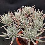 에둘리스802-0125|Dudleya edulis