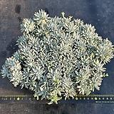 화이트그리니-0125|Dudleya White greenii