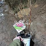 핑크아나벨수국나무 (개화주) 신품종묘목 [모든원예조경]|