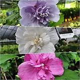 겹꽃무궁화나무 (3단무궁화) 트라이컬러 신품종묘목 [모든원예조경]|