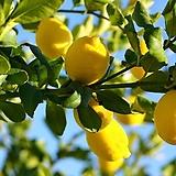 사계성 레몬 유레카 신품종 외목수형/레몬트리 레몬나무/시트러스