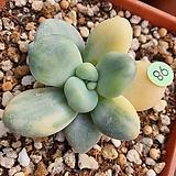 성미인금|Pachyphytum oviferum