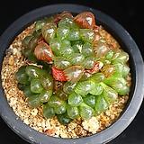 Haworthia cooperi var obtusa (purple)