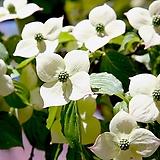 산딸나무 10주묶음 - 실생1년 정원수 