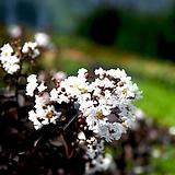 흰색배롱나무 자엽배롱묘목 - 정원수 