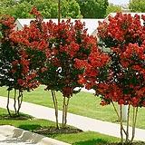 목백일홍 다이너마이트 배롱나무묘목 