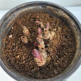 겹작약/공기정화식물/온누리 꽃농원|