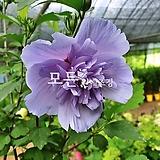 겹꽃무궁화나무 (블루쉬폰) 신품종묘목 [모든원예조경]|
