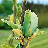 목련나무 (블루베이비) 신품종 목련묘목 접목2년생 [모든원예조경]|
