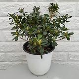 철쭉12 -  불꽃철죽|Crassula Americana cv.Flame
