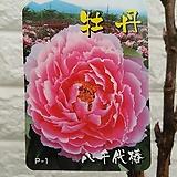 목단 부귀화[일본 핑크색목단]P1 - 노지월동.|
