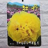 목단 부귀화 - 일본 수입목단75 노랑색|