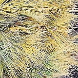 황금소나무(접목1년생),목하원예조경 variegated