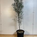 가는잎 아카시아 100cm 