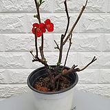 홍천조 명자나무18 - 노지월동|