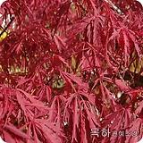 단풍나무(사계절홍단풍),(블러드굿)접목1년,목하원예조경 
