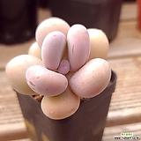 Pachyphytum cv mombuin