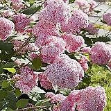 미국수국 - 핑크아나벨 수국화분  