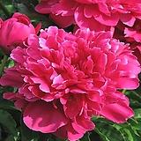 작약화분 빅토리아드마메 구근 심기 뿌리 Echeveria globuliflora