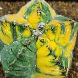 귀갑난봉옥금(접목 뿌리무) variegated