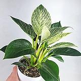 프라이덱 알로카시아 그린벨벳 공기정화식물 한빛농원