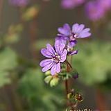 꽃대를 올리고있는 청하쥐손이 (15cm포트) Echeveria Chungha