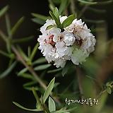 꽃대를 올리고있는 흰겹호주매화  사진촬영 2021년 2월 7일 