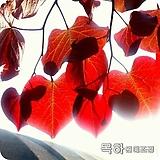 자엽박태기(박태기나무)1.2미터전후 특묘,목하원예조경 