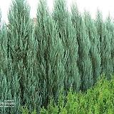 스카이로켓향나무(H0.3)[더케이야생화]|