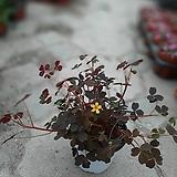 노랑꽃 사랑초|
